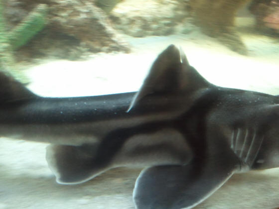 Coldshksysfaqs re shark with white spots 8111 hey bob sorry for the crazy email i dont know how to properly attach these pics to an email from my phone fandeluxe Images